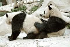 Dve pandi